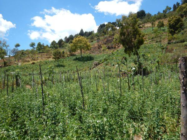 sugar snap snow pea fields huehuetenango guatemala 1