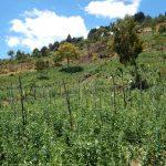snow peas sugar snap field guatemala elbefruit