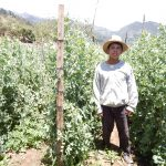 snow peas sugar snaps producer elbefruit guatemala