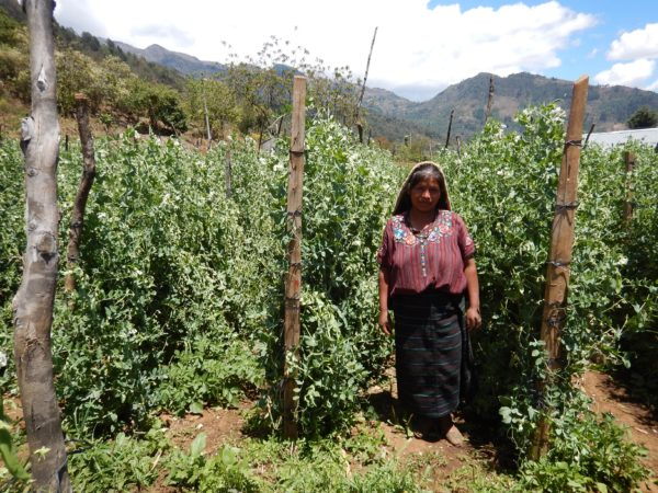 sugar snap snow pea woman grower farmer huehuetenango guatemala