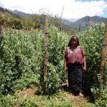 snow pea sugar snap producer exporter guatemala arveja china