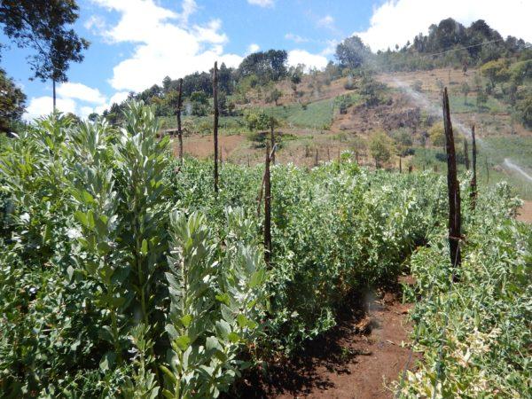 sugar snap snow pea fields huehuetenango guatemala 2