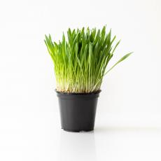 gerstengras barley grass