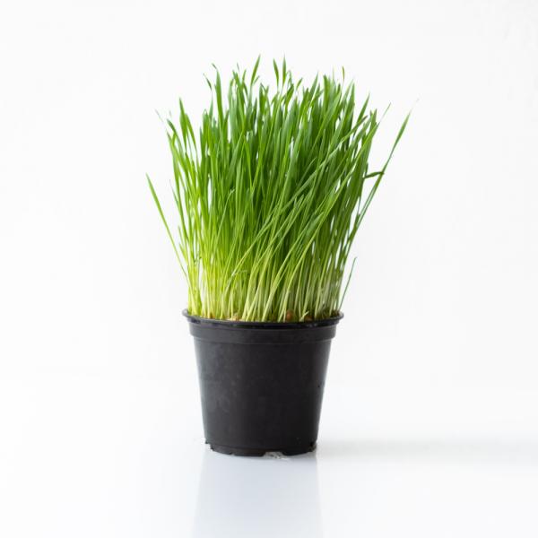 weizengras wheatgrass