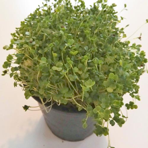 broccoli microgreen sprouts