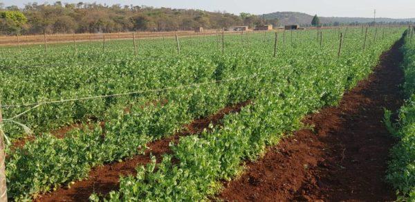 mangetout-field-zimbabwe-2